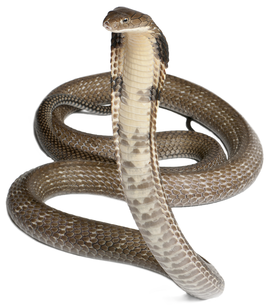Snake Transparent PNG Sticker - Cobra Snake PNG HD