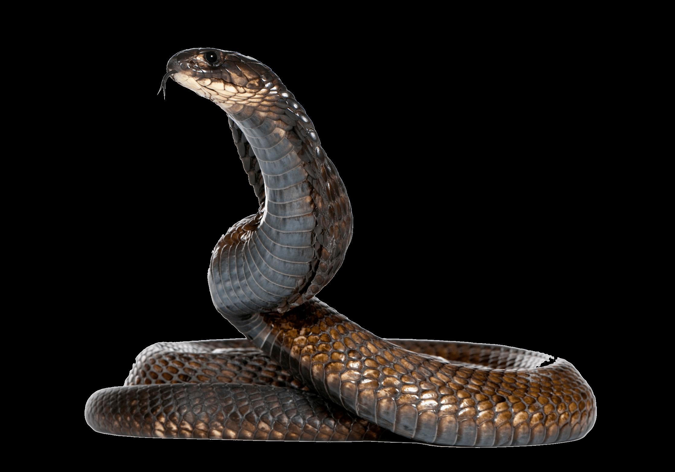 Cobra Snake Png Image PNG Image - Snake PNG