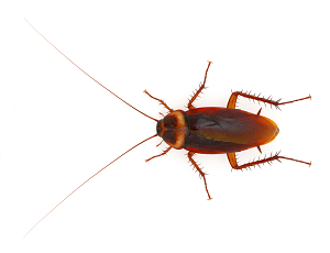 Cockroach - Cockroach PNG