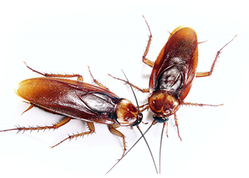 Cockroaches can overrun a home or business because they breed quickly.  Dozens can turn into hundreds and hundreds into thousands. Relying on  conventional PlusPng.com  - Cockroach PNG