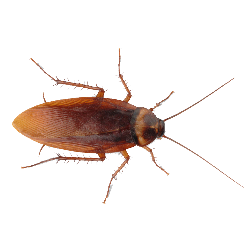 png 800x800 Cockroach no background - Cockroach PNG