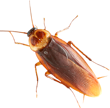 Roach PNG - Cockroach PNG