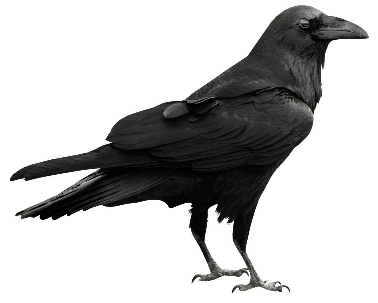 Raven PNG - 4069