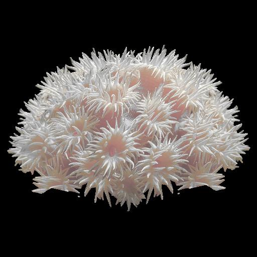 Coral PNG HD-PlusPNG.com-512