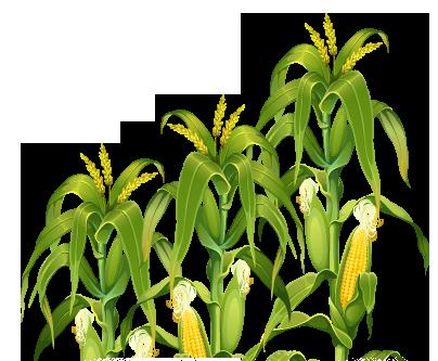 Corn Plant PNG Transparent Image - Corn PNG