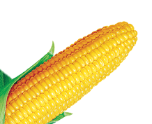 Corn PNG - 13666