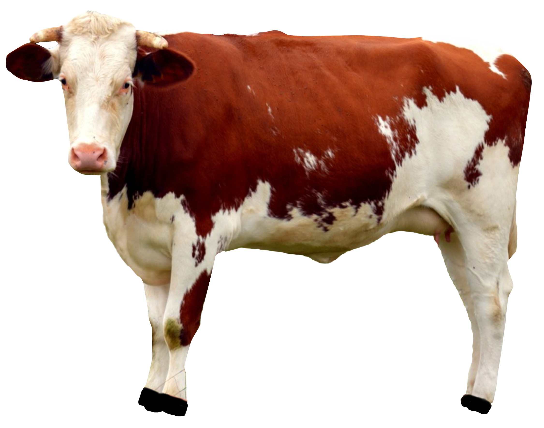 Cow HD PNG-PlusPNG.com-2250 - Cow HD PNG