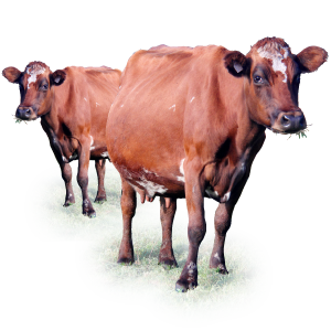 Aussie Red Cows Milk Is Rich In Nutrients - Cow HD PNG