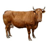 Brown Cow Png Image PNG Image - Cow HD PNG