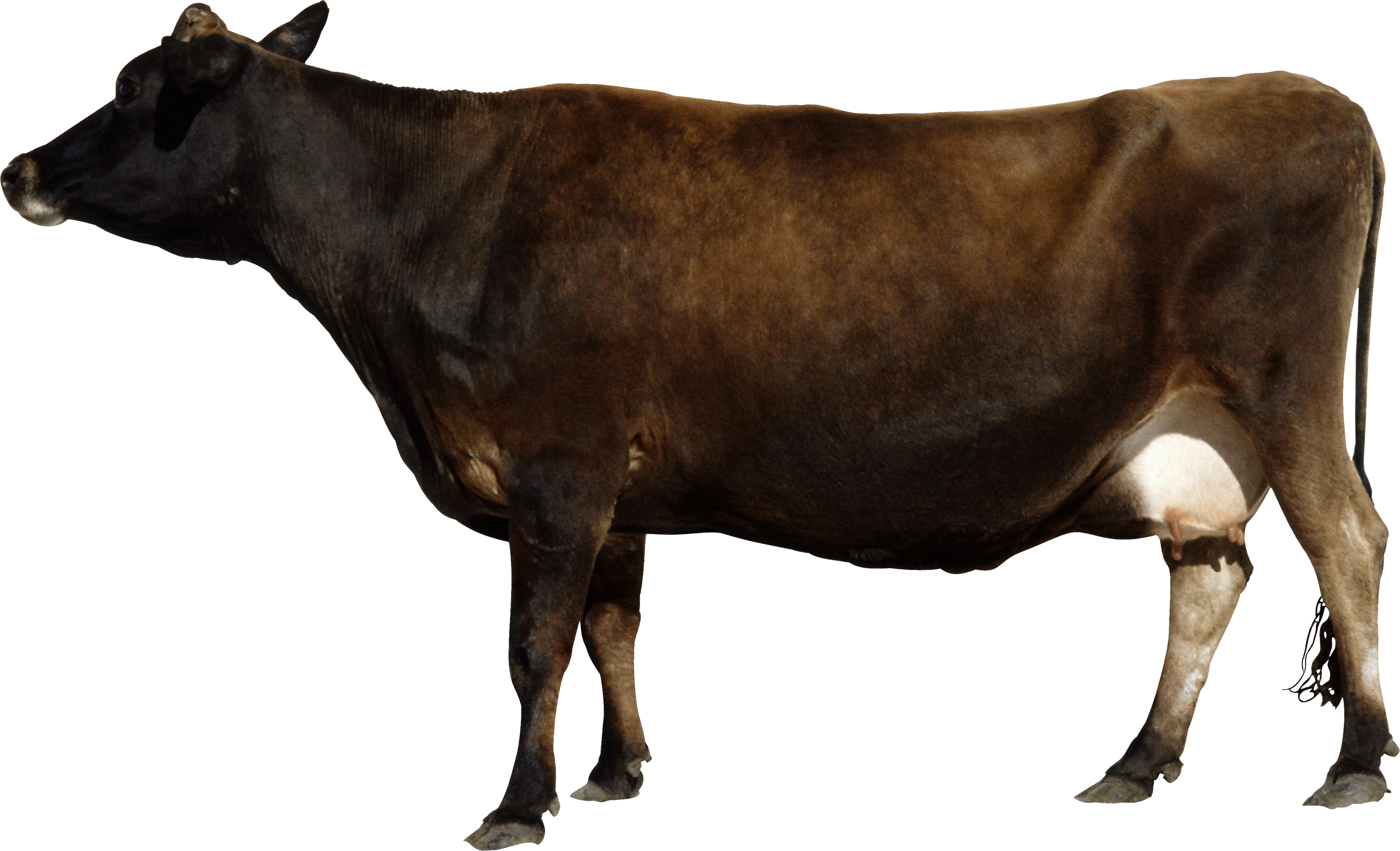 Cow PNG Image - Cow HD PNG