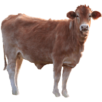 Cow Png Image PNG Image - Cow HD PNG