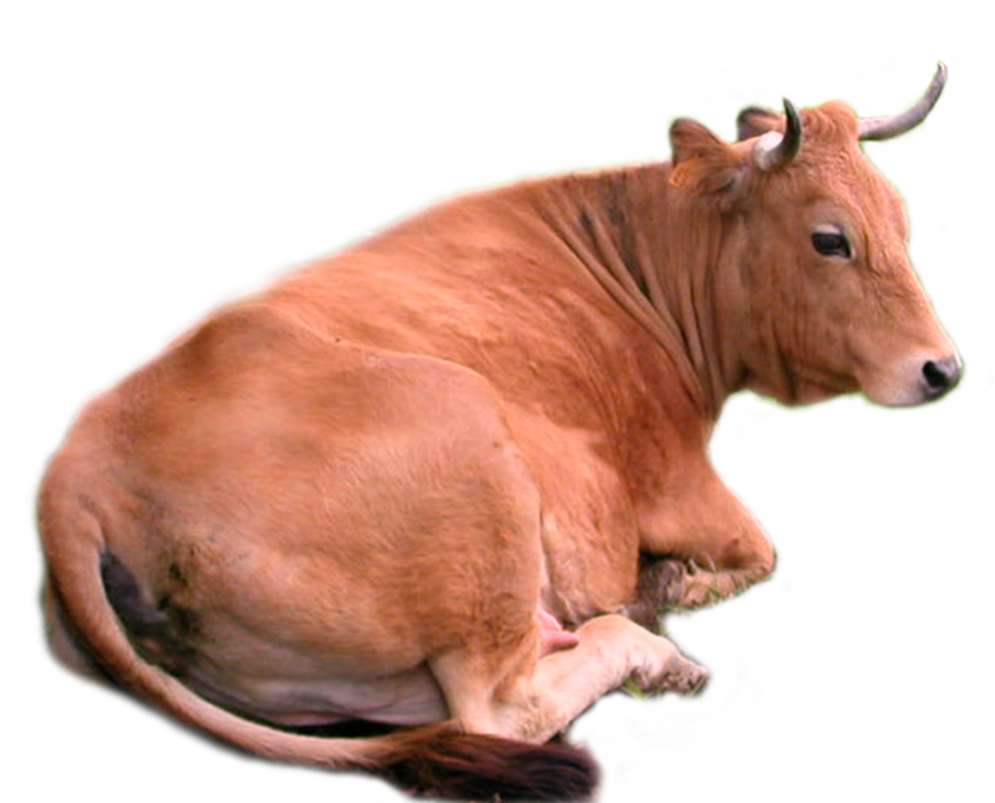 Cow Png Stock By Lubman PlusPng.com  - Cow HD PNG