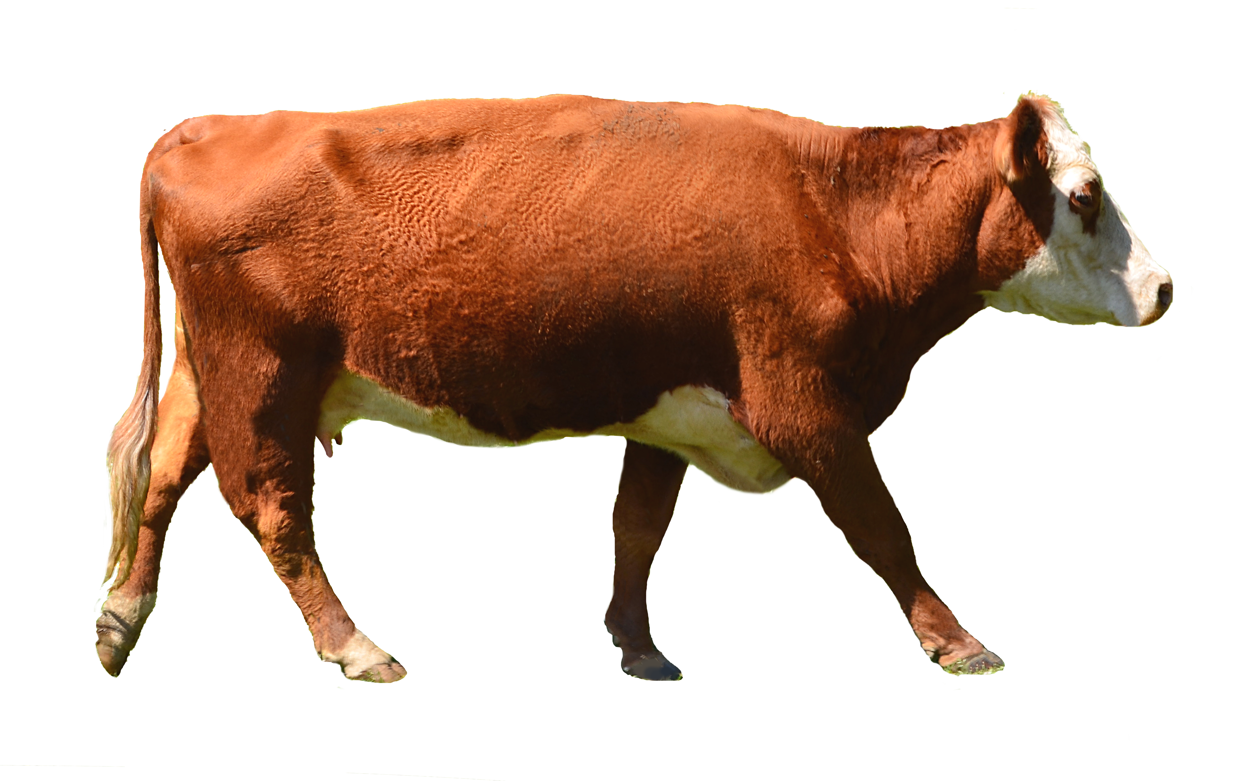 . PlusPng.com Cow PNG Stock Photo 0010 Complete CutOut By Annamae22 - Cow HD PNG