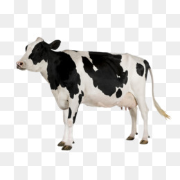 A cow, Dairy Cow, Color, Dairy Cattle PNG Image and Clipart - Cow Head PNG HD