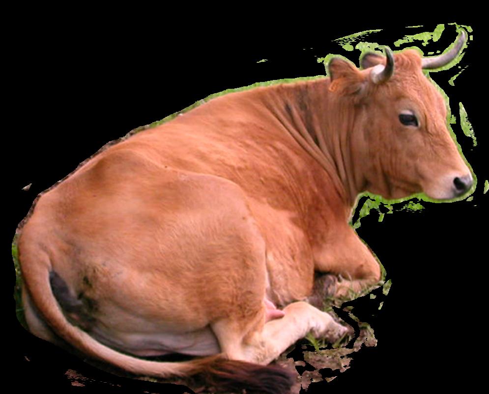 Cow Head PNG HD - 140173