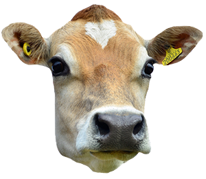 PNG Cow Head - Cow Head PNG HD