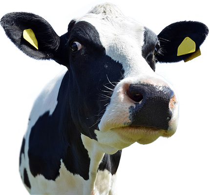 Cow Head PNG HD