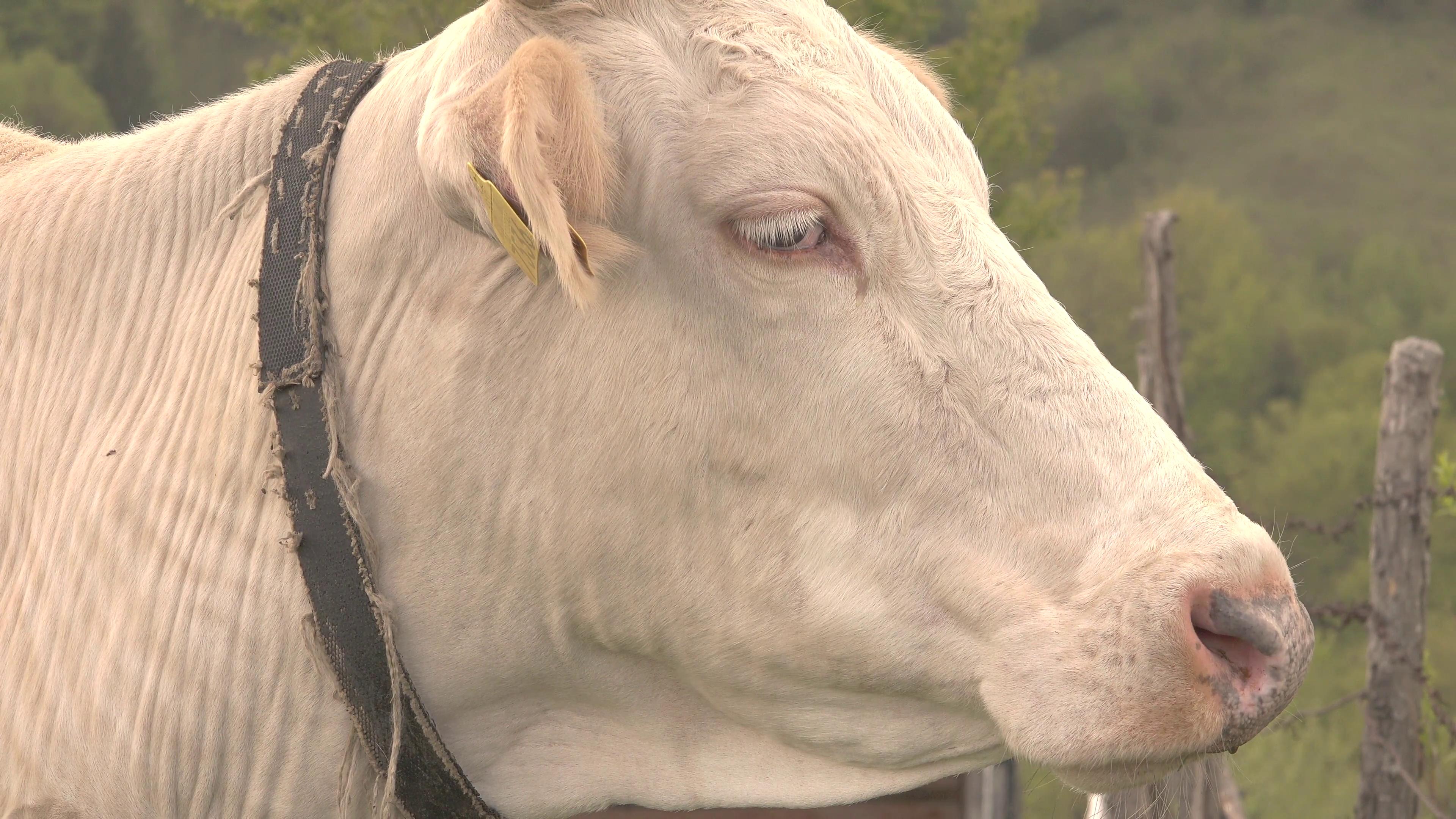 Cow Head PNG HD - 140181