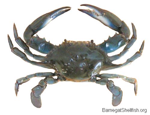 500x384 px - Crab HD PNG