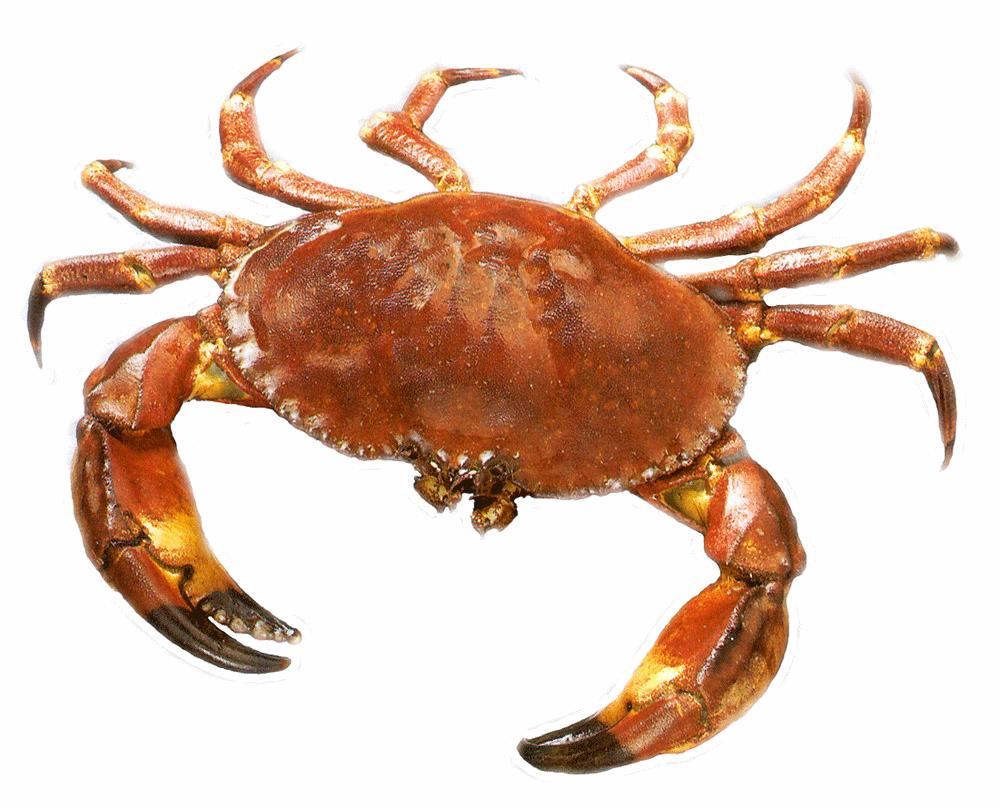Crab PNG - Crab HD PNG