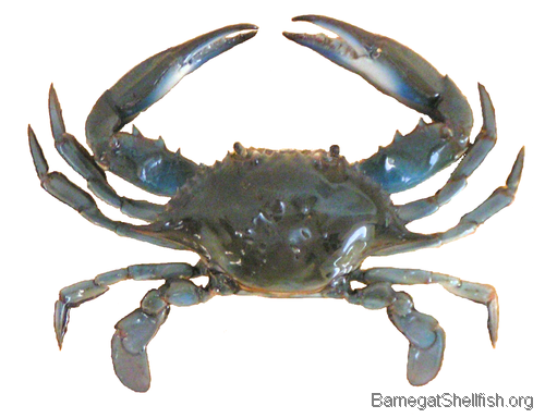 500x384 px - Crab Image PNG HD