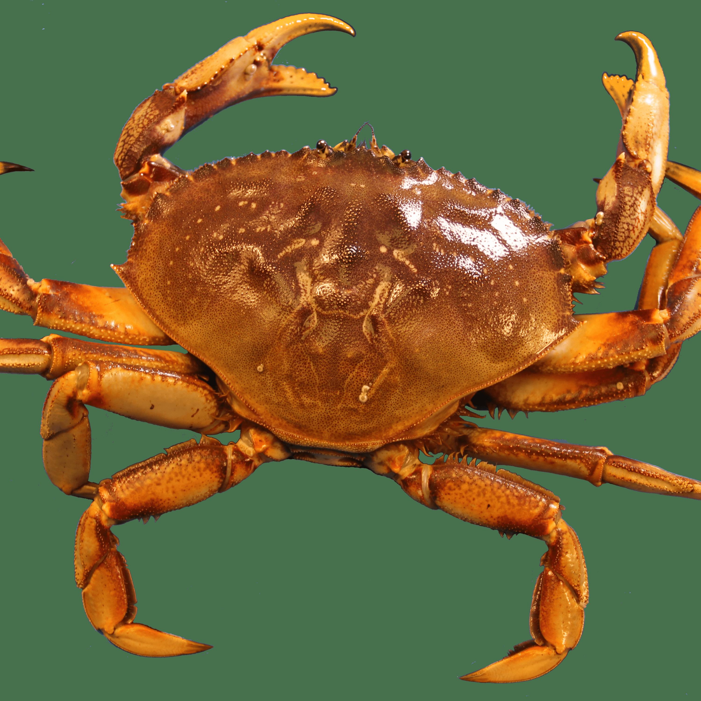 Crab Image PNG HD