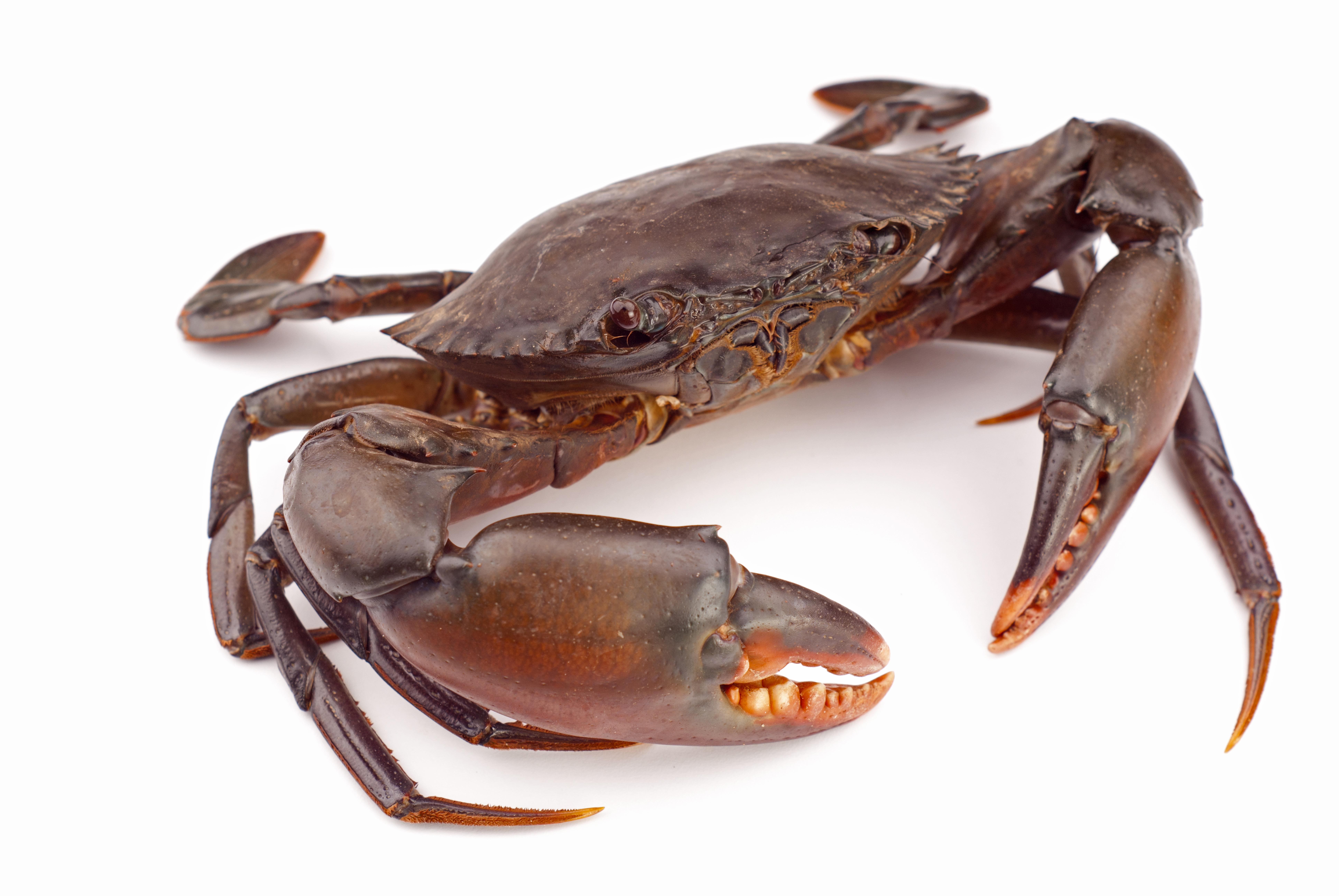 Crab - Crab Image PNG HD