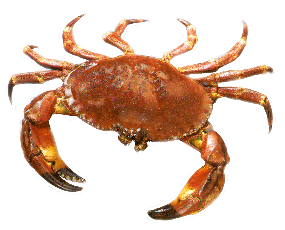 4f7f8c5.png - Crab PNG