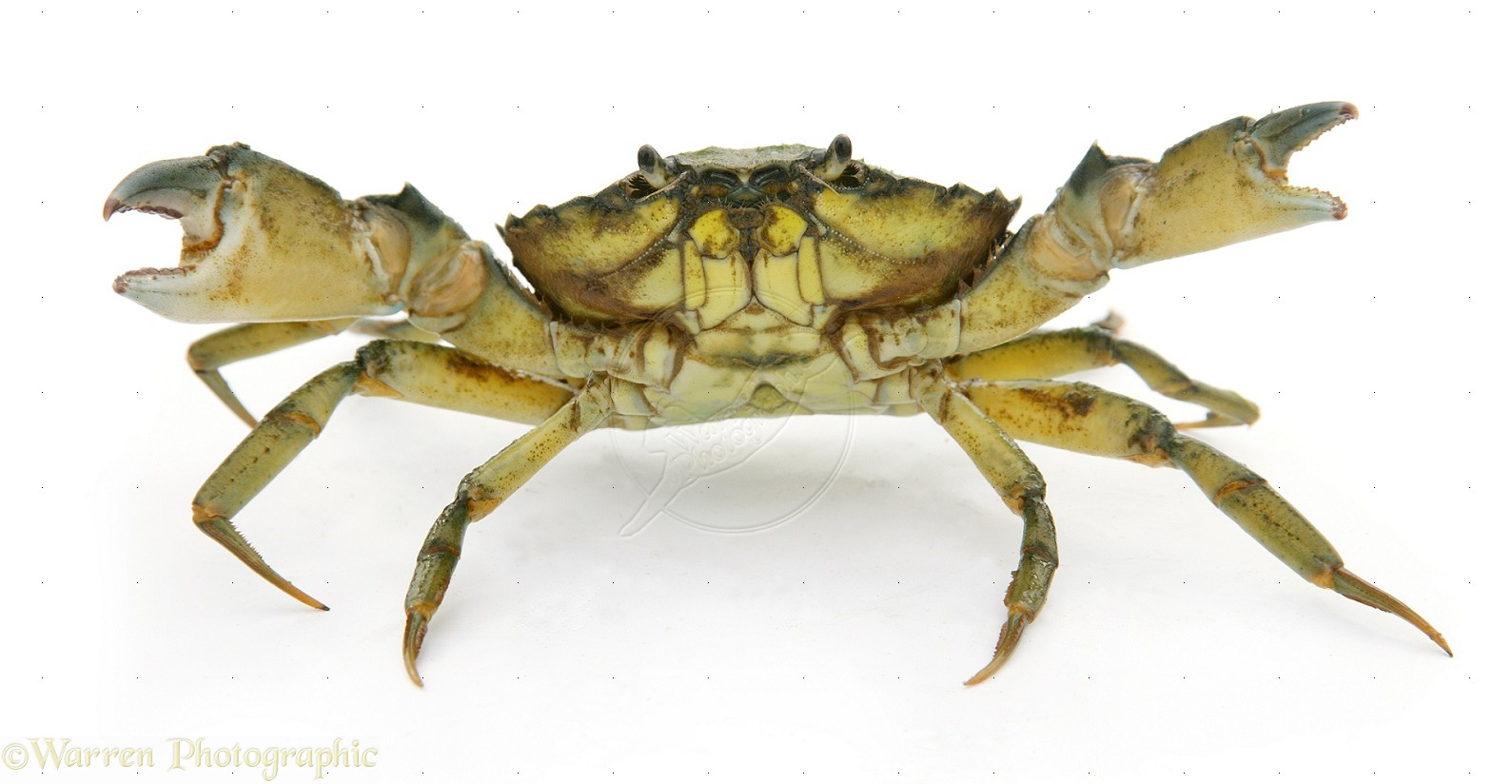 7f3433a.png - Crab PNG