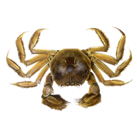 Crab Png Clipart PNG Image - Crab PNG