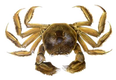 Crab PNG Clipart - Crab PNG HD