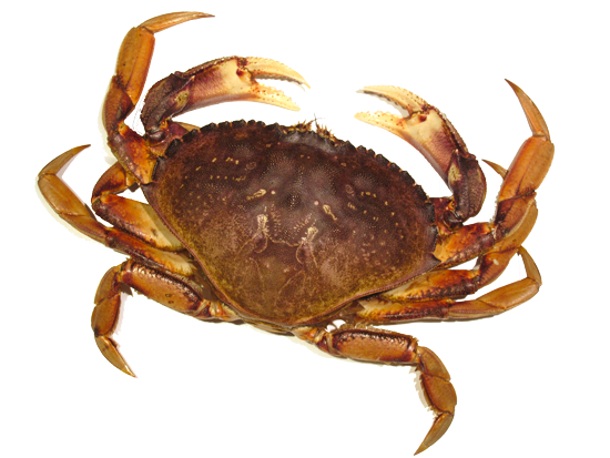 Crab PNG Picture 16610