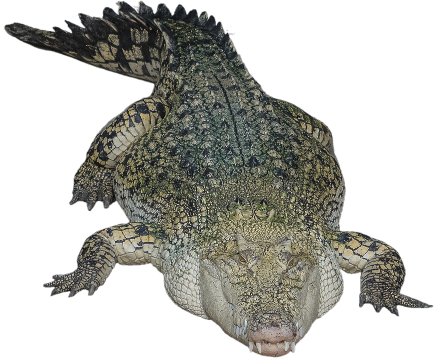 Alligator PNG HD - Crocodile HD PNG