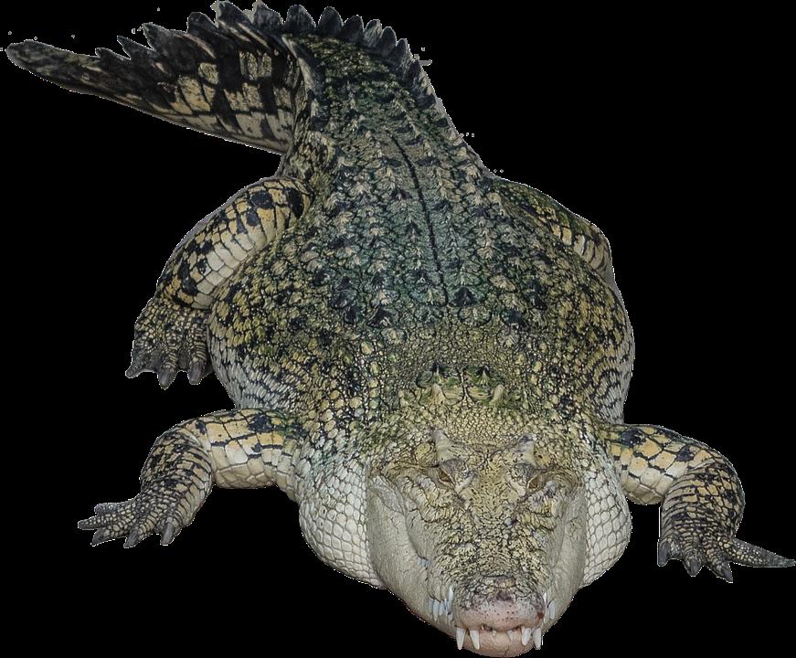 Crocodile HD PNG - 118140