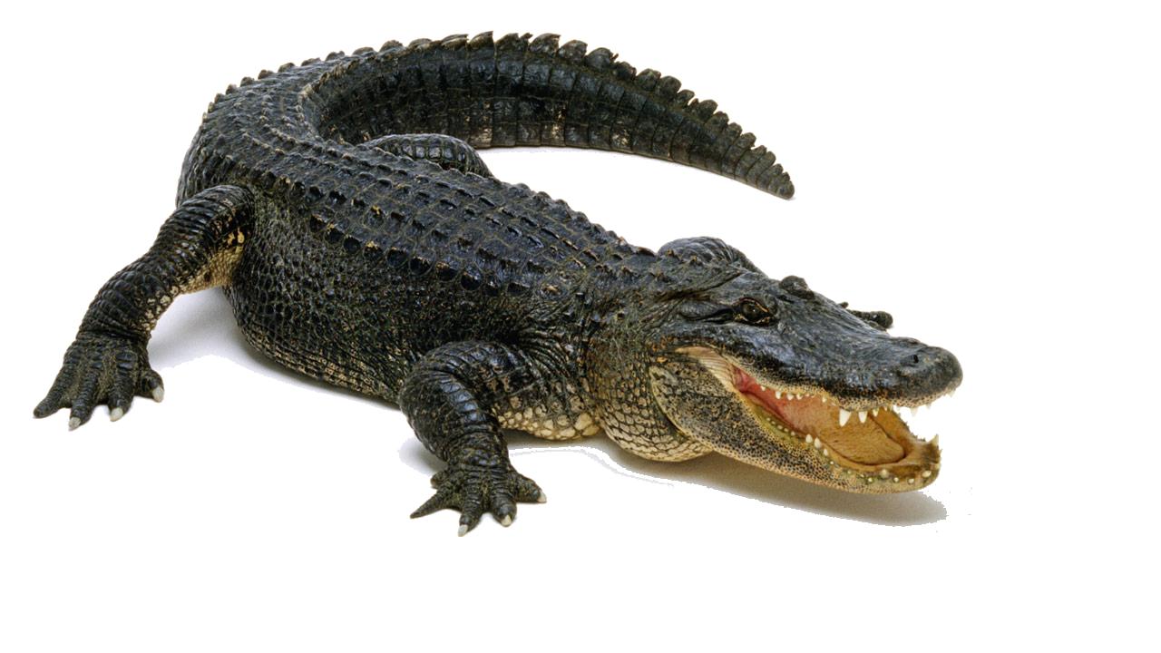 Crocodile HD PNG - 118142