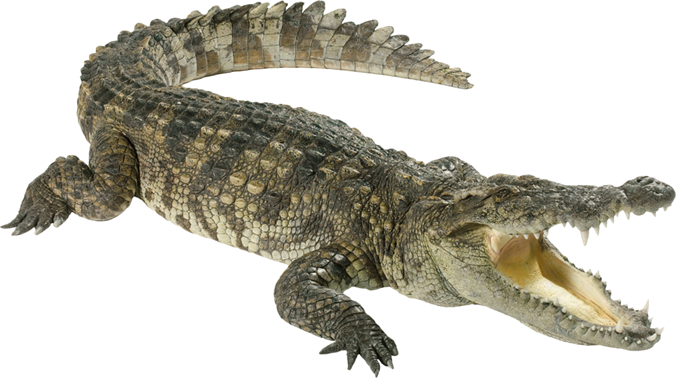Crocodile HD PNG