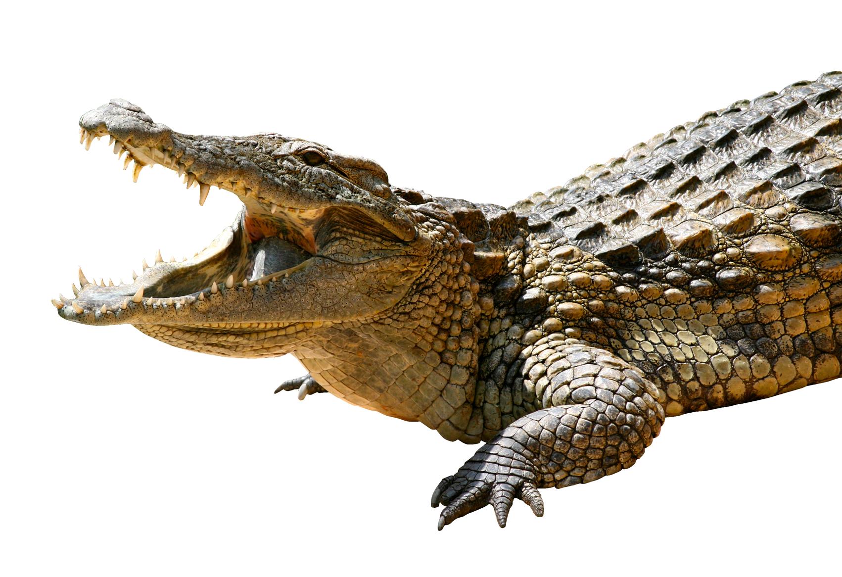 Crocodile HD PNG - 118135