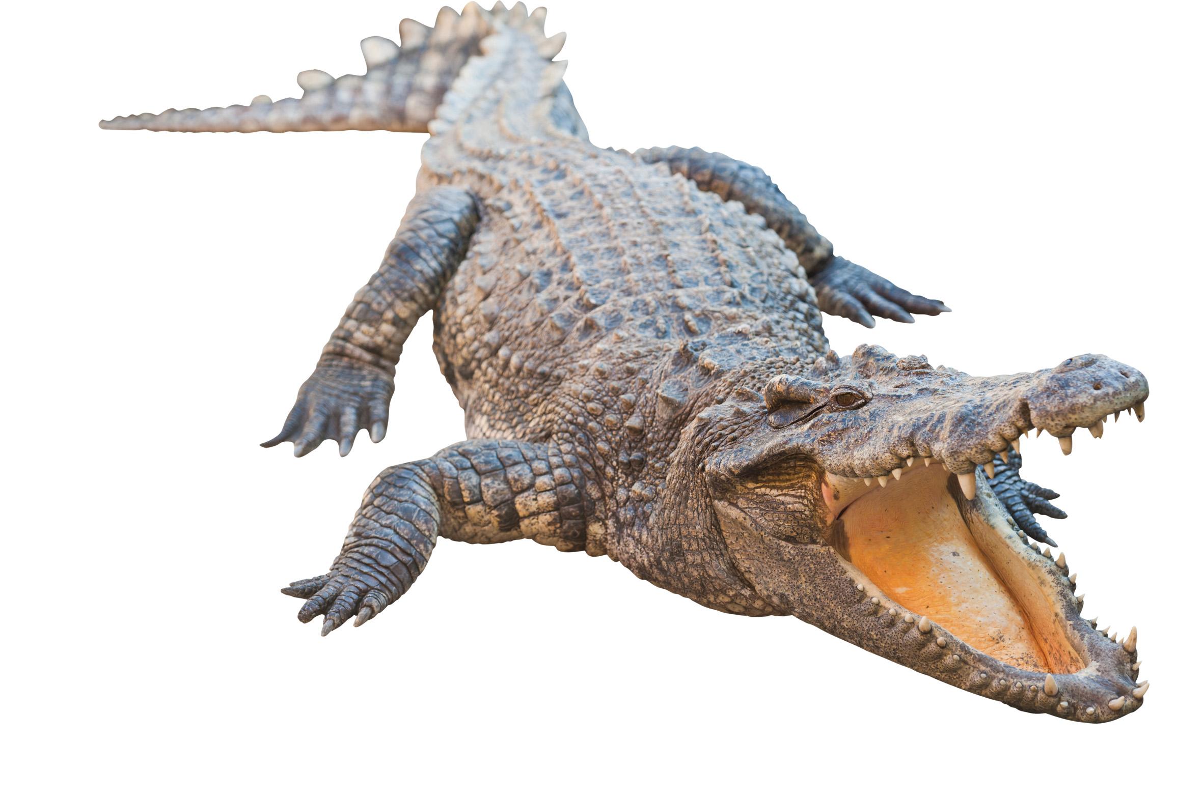 Crocodile HD PNG - 118149