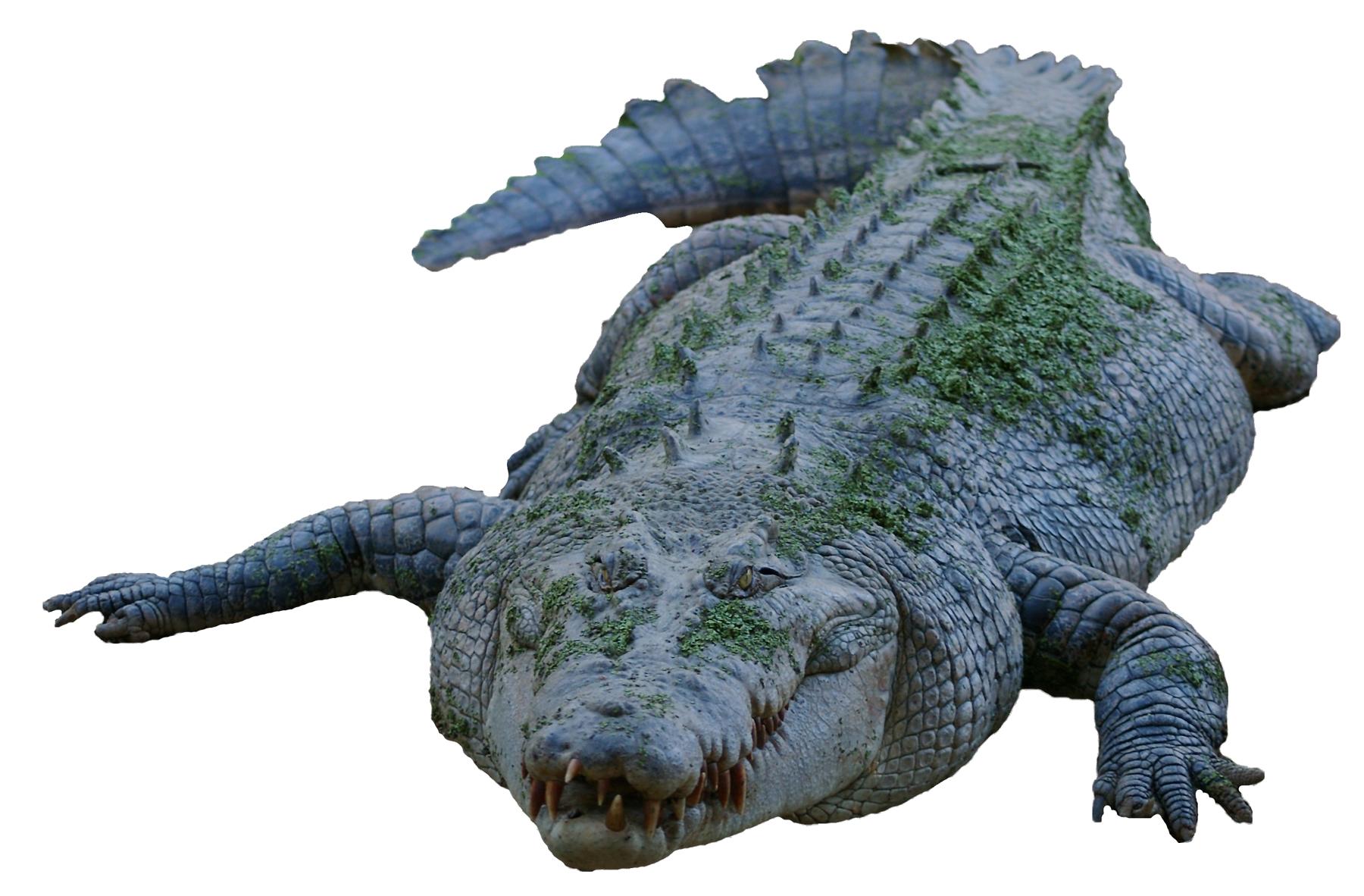 Crocodile PNG - 19877