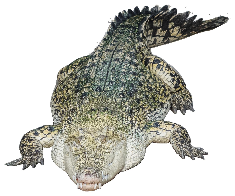 Crocodile PNG - 19882