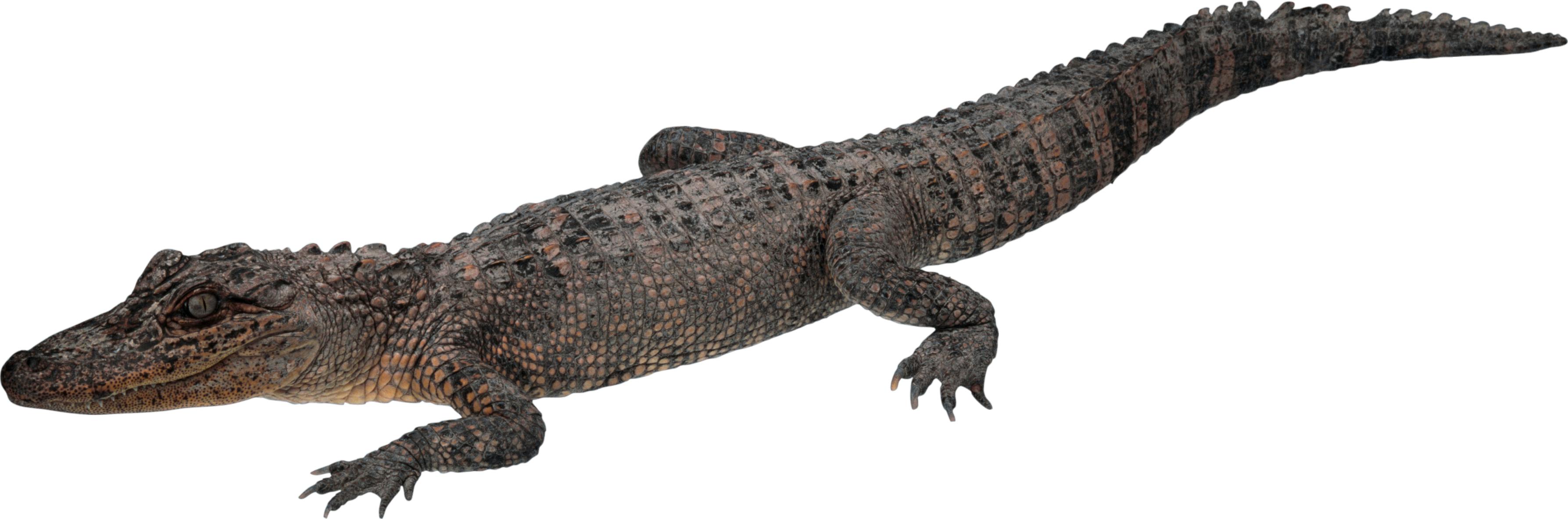 Crocodile PNG - 19888