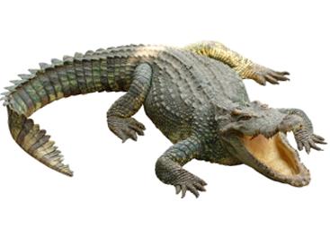 Crocodile PNG - 19869