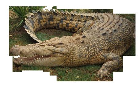 Crocodile PNG - 19868