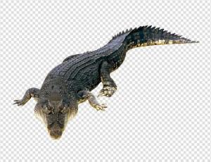 Crocodile PNG - 19884