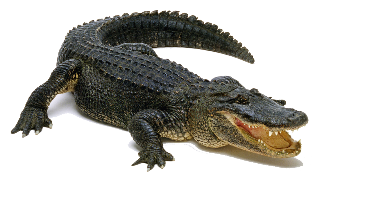 Alligator PNG Pic - Crocodile PNG HD Images
