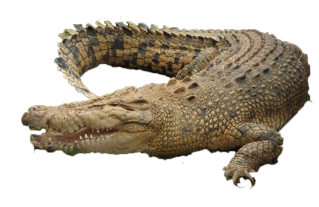 Crocodile - Crocodile PNG HD Images