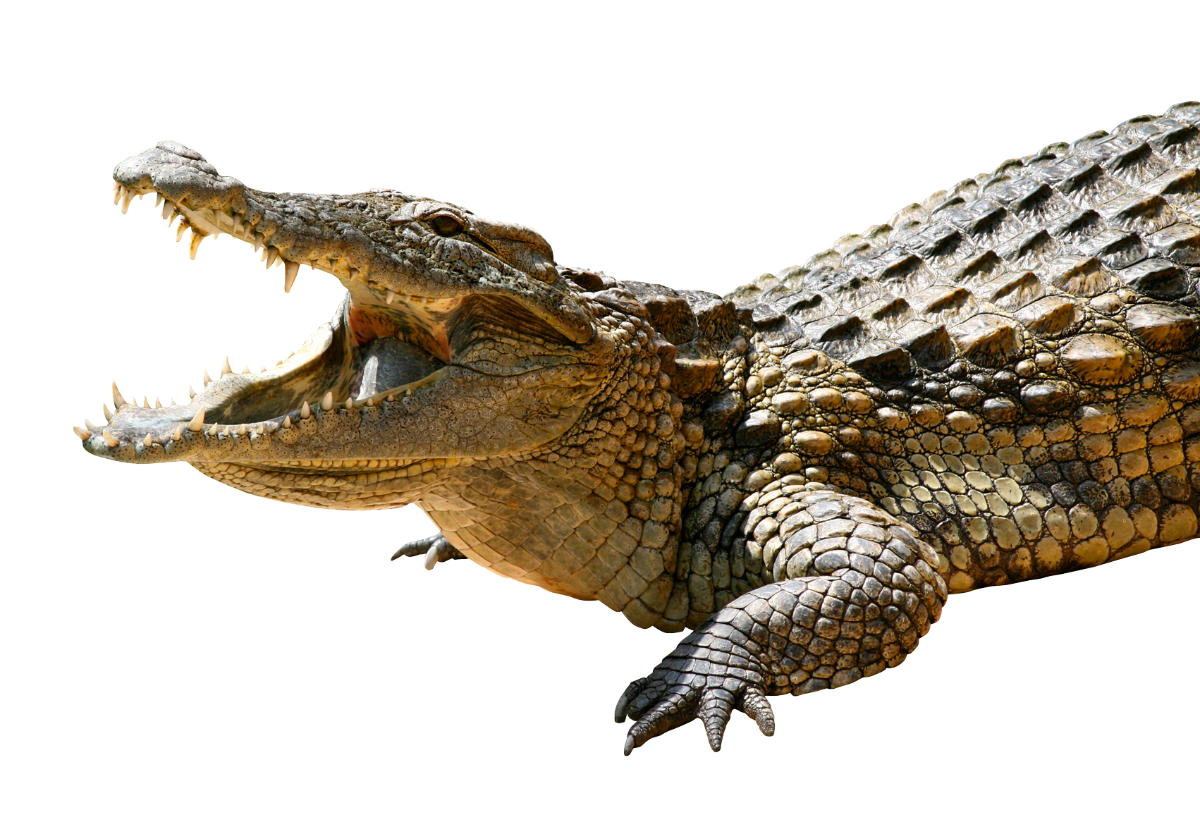 Crocodile PNG-PlusPNG pluspng pluspng.com-1702 - Crocodile PNG - Crocodile HD PNG - Crocodile PNG HD Images