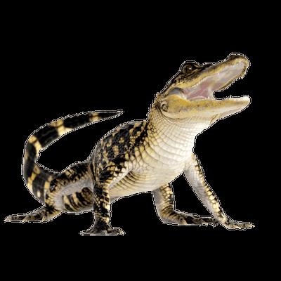 Crocodile PNG - 19880