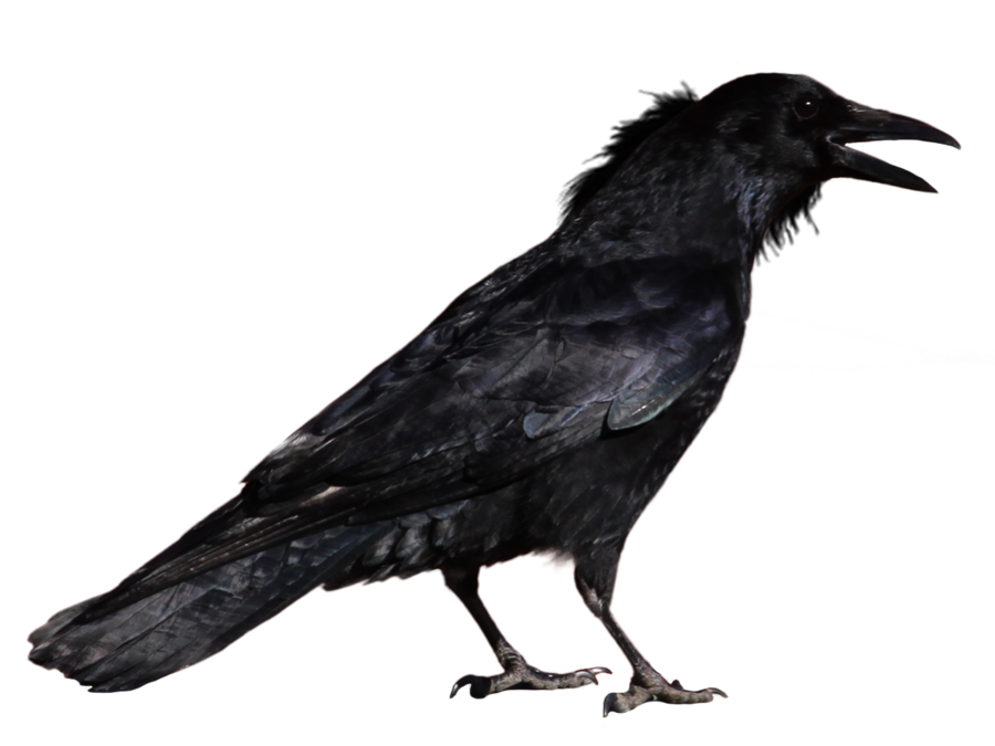 Raven PNG - 4082