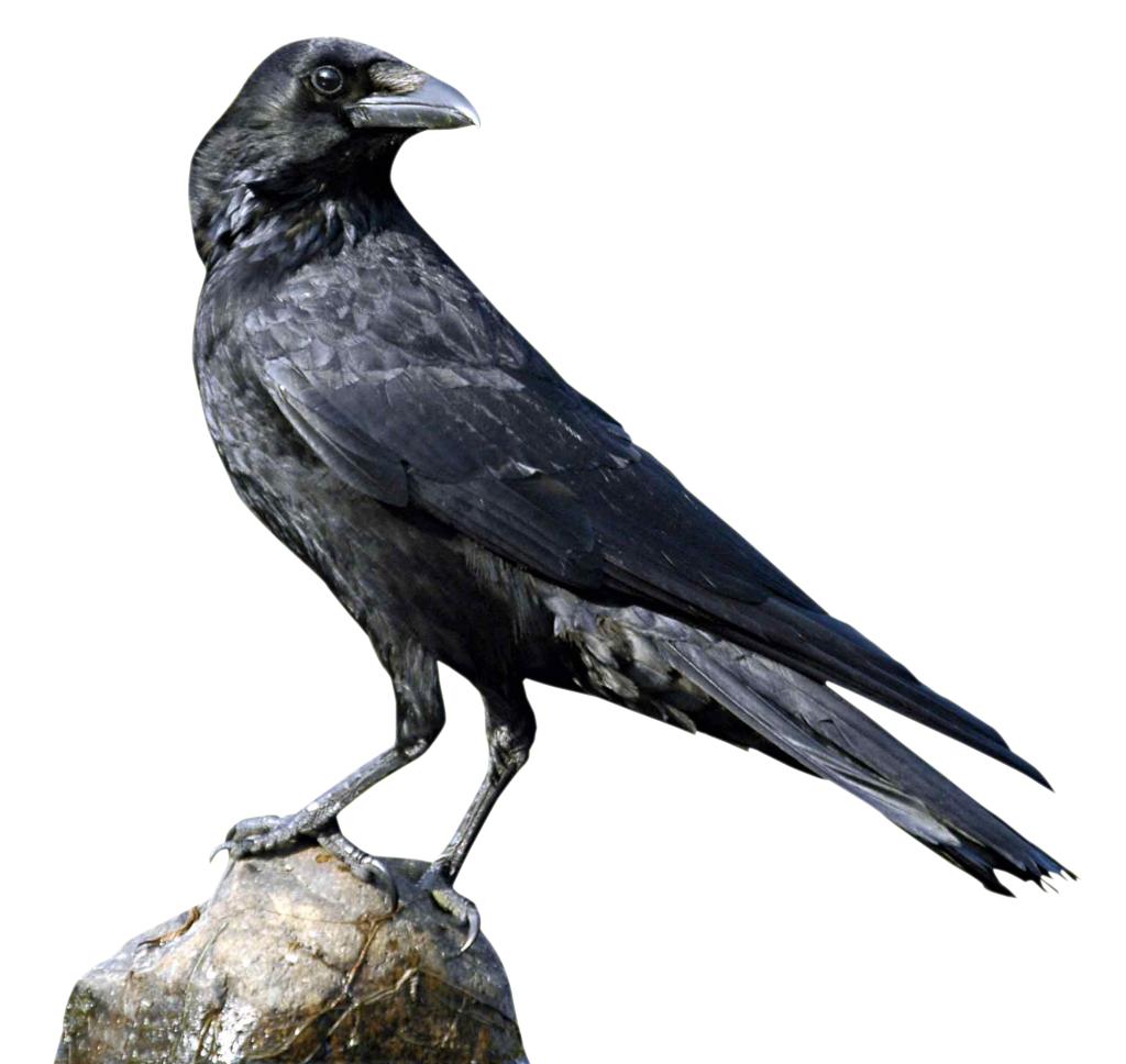 ADVERTISEMENT - Crow HD PNG